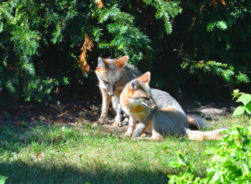 EAT, WRITE, DIGEST: Urban Wildlife, Suburban Coexistence