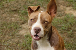 Pibbles - ADOPTED!
