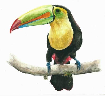 Toucan - Watercolour
