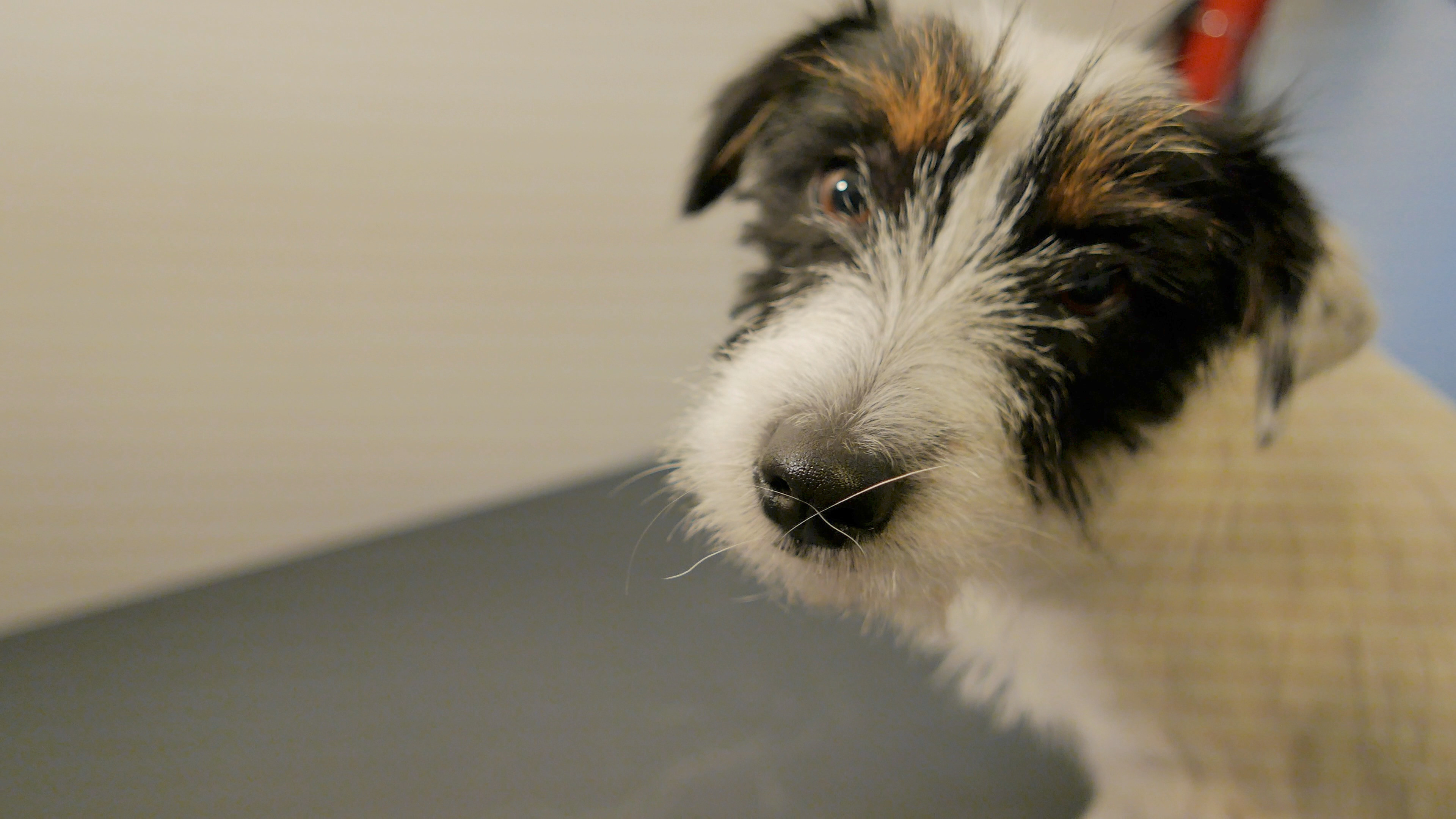 Trimbeurt voor middelgrote honden