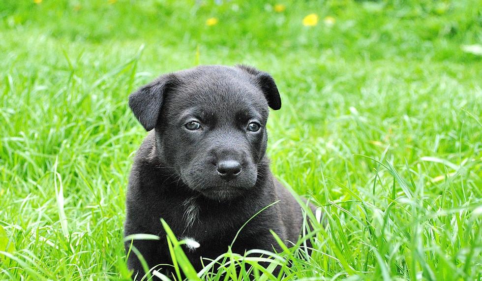mixed puppy
