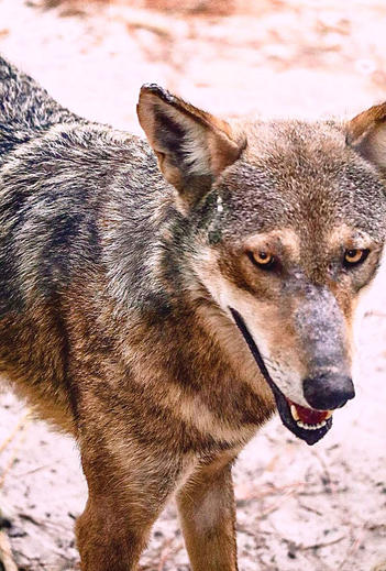 florida red wolf