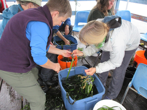 A Successful Pender Island Eelgrass Planting Day 2019