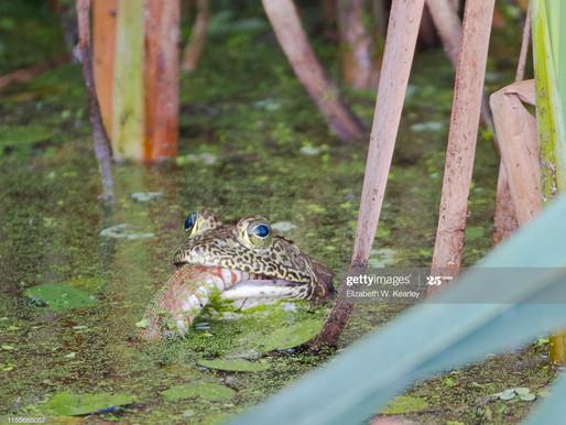 Beware the American bullfrog!