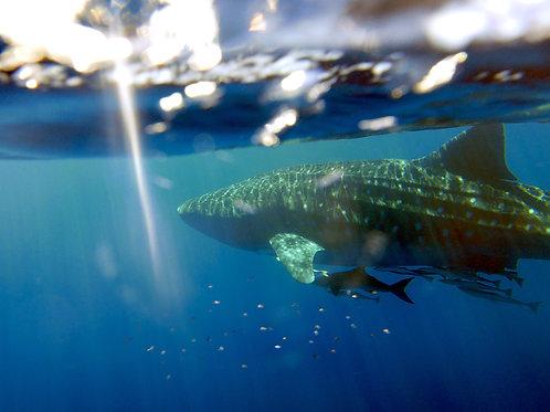 SF0019 Whale Shark