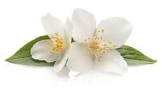Jasmine flowers isolated on white backgr