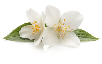 Jasmine flowers isolated on white backgr