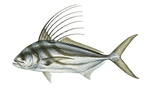 roosterfish.png