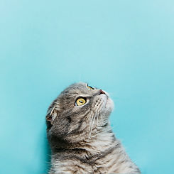 scottish-fold-cat-on-blue-surface.jpg