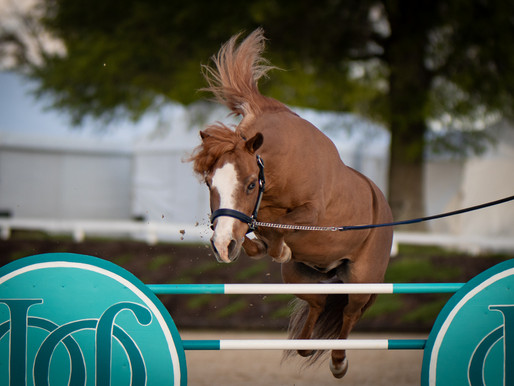 Teaching Your Miniature Horse To Jump