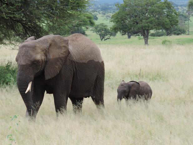 Wet Elephant with Baby.JPG