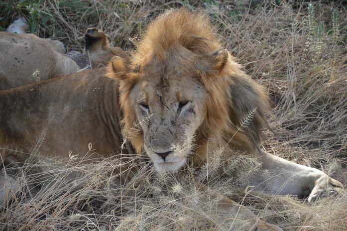 Old Male Lion1.JPG
