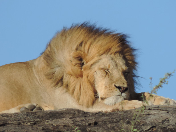 Sleeping Lion.JPG