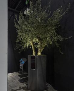 Carolea tree