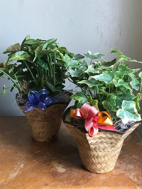 Tabletop Tropicals