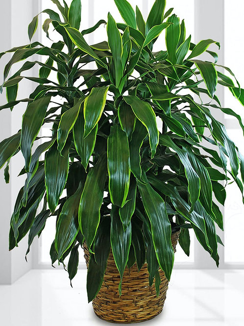 Tropical plant (indoor/outdoor)
