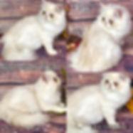 minuet kitten