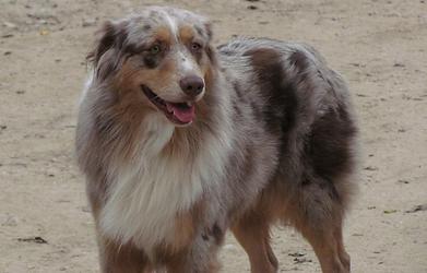 AKC Australian Shepherd Puppies Texas for sale, puppies Austin