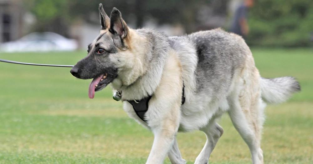 German Shepherd Dog Crash with AVM