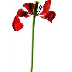 Fading Beauty-tulip