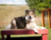 Carolark dog training offers puppy socialization classes, obedience classes, dog agility classes, dog sports, rally obedience, recall classes and behavioural consults in Ottawa, Ontario