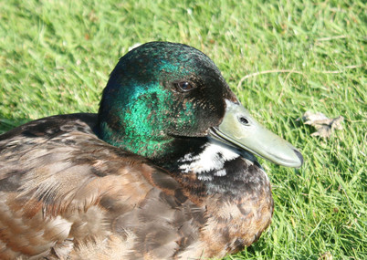Wildlife - Duck