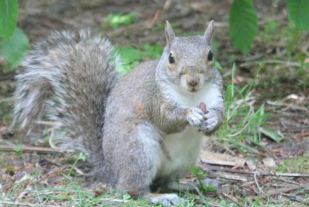Wildlife - Squirrel