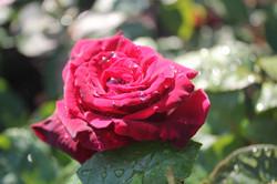 Close-Up - Rose