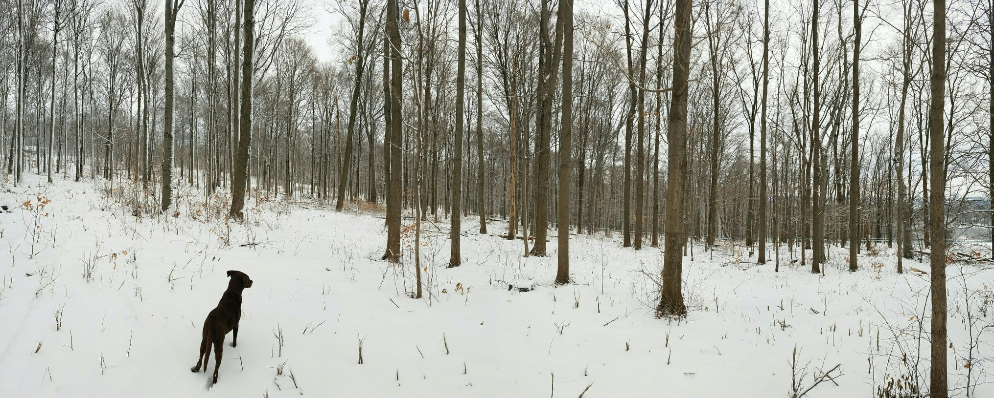 Maple woods in the winter