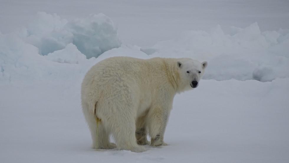 ijsbeer-meikesjoer.jpeg