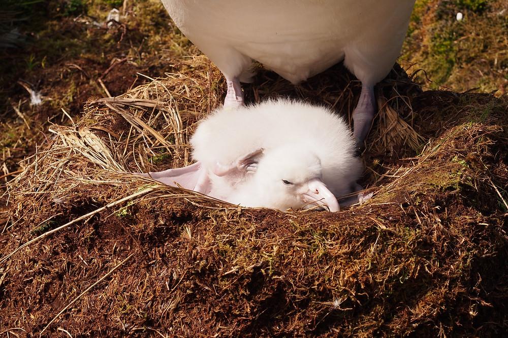 tristan albatross chick scratching
