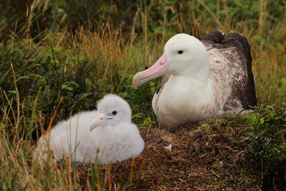 A female Tristan albatross returns to the nest to feed her chick (Jaimie Cleeland)