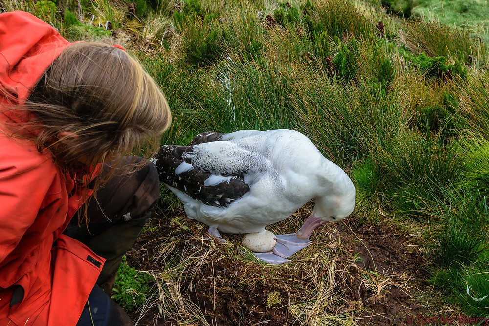 A male tristan albatross has an egg ready to hatch
