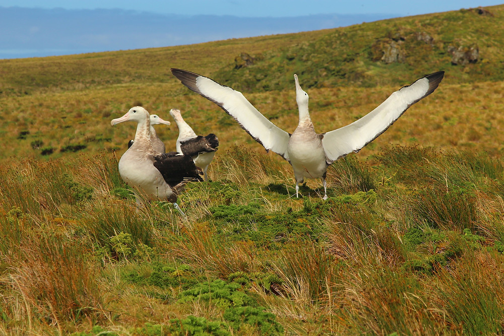 non-breeding tristan albatross practice their courtship dance