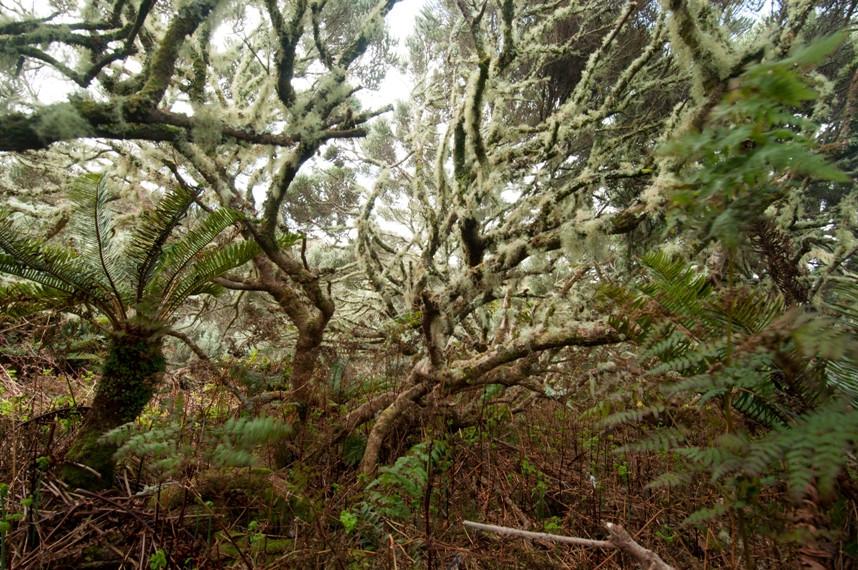 Phylica woodland