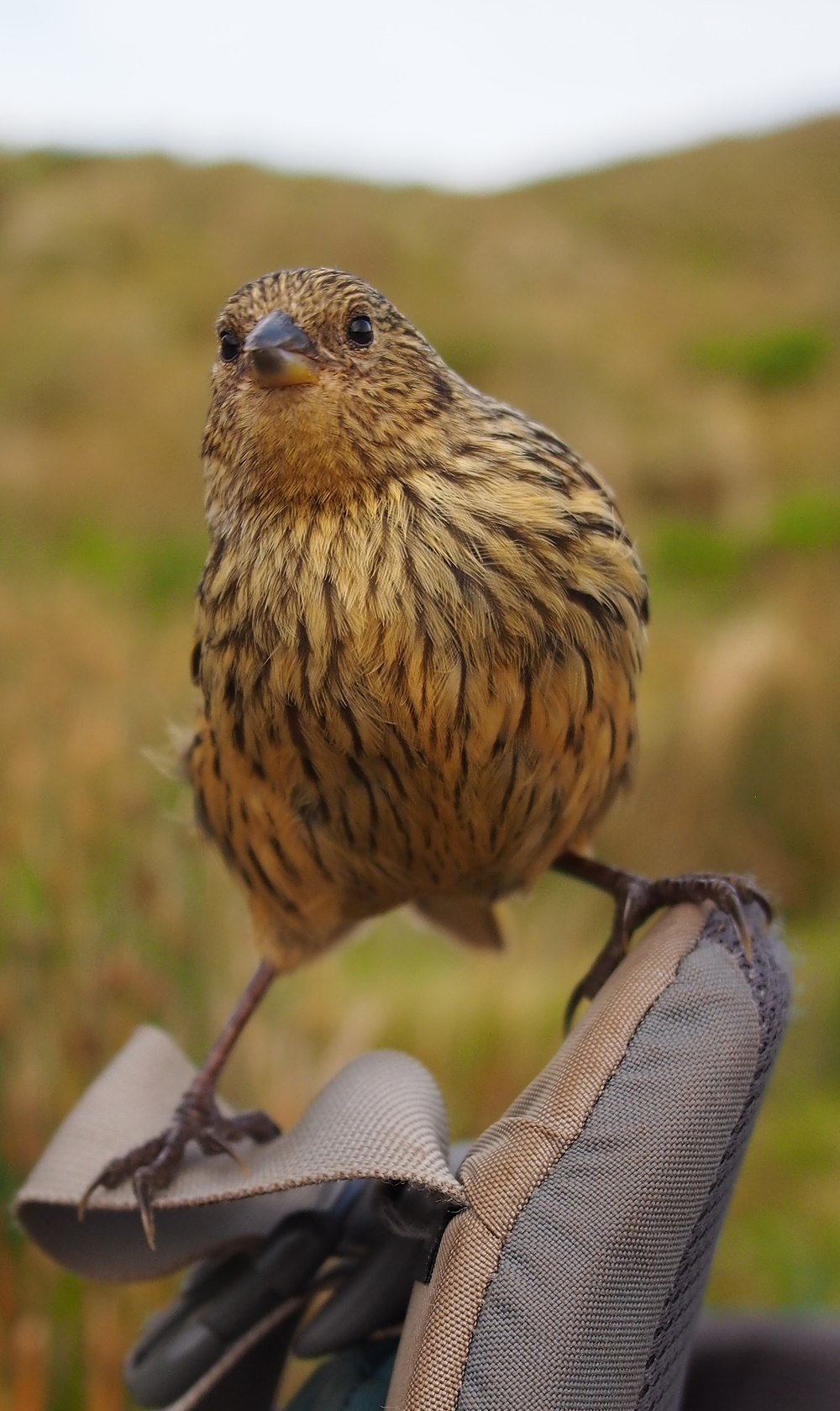 Critically Endangered, endemic, Gough bunting will be one of the species housed in temporary aviaries (Kate Lawrence)