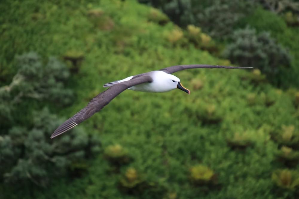 Indian yellow nosed albatross