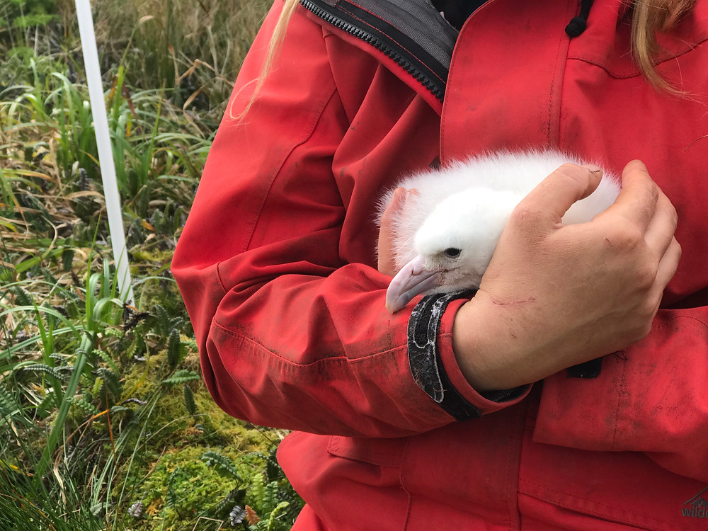 Jaimie holds a Tristan albatross chick whilst it's parents GPS is removed (Z.Mogale)