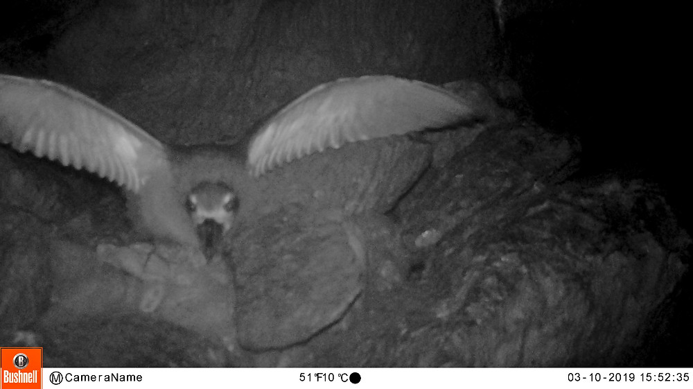 An infra-red camera was setup in the nest. This image shows the chick stretching its wings not long before it fledged (A.Osborne)
