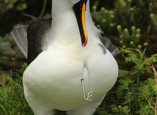 Yet another albatross caught on a hook!