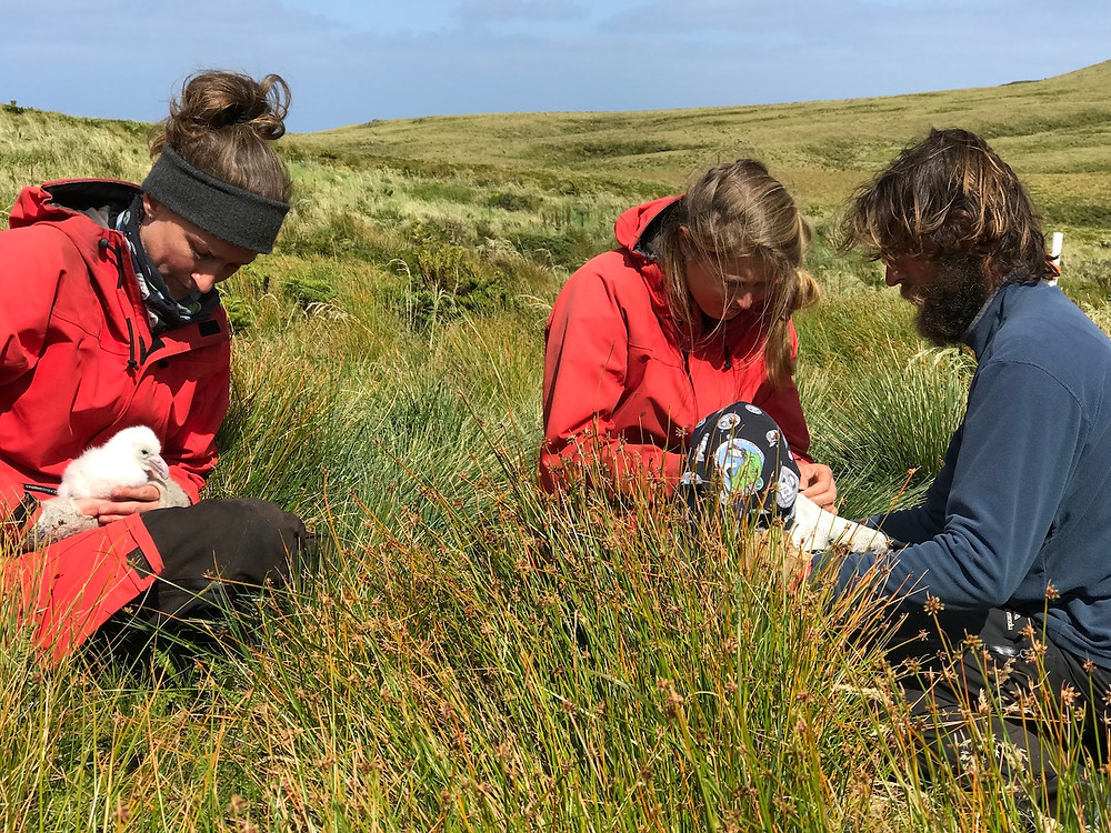 Fabrice holds the albatross whilst Jaimie deploys the GPS, and Kate holds onto the parents chick (Z.Mogale)