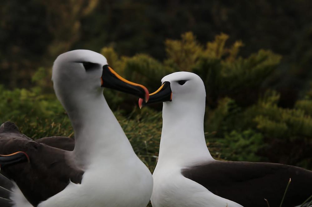 Atlantic yellow nosed, indian yellow-nosed albatross