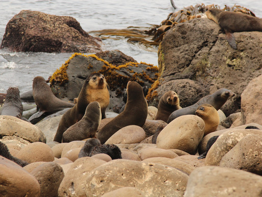 Sealing around on Gough Island!