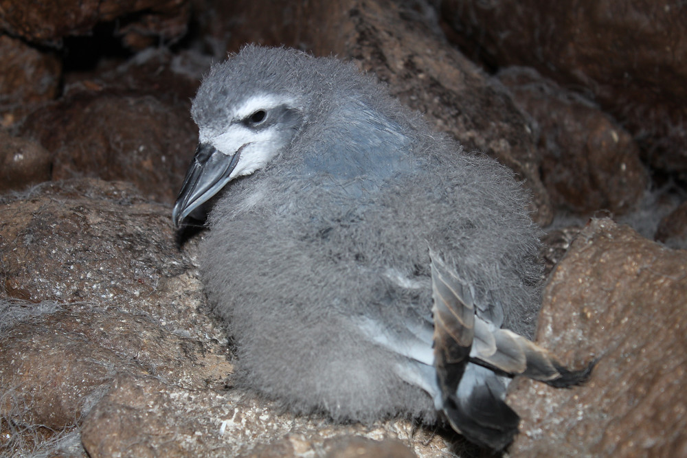 The last surviving chick in Prion Cave this year (A.Osborne)