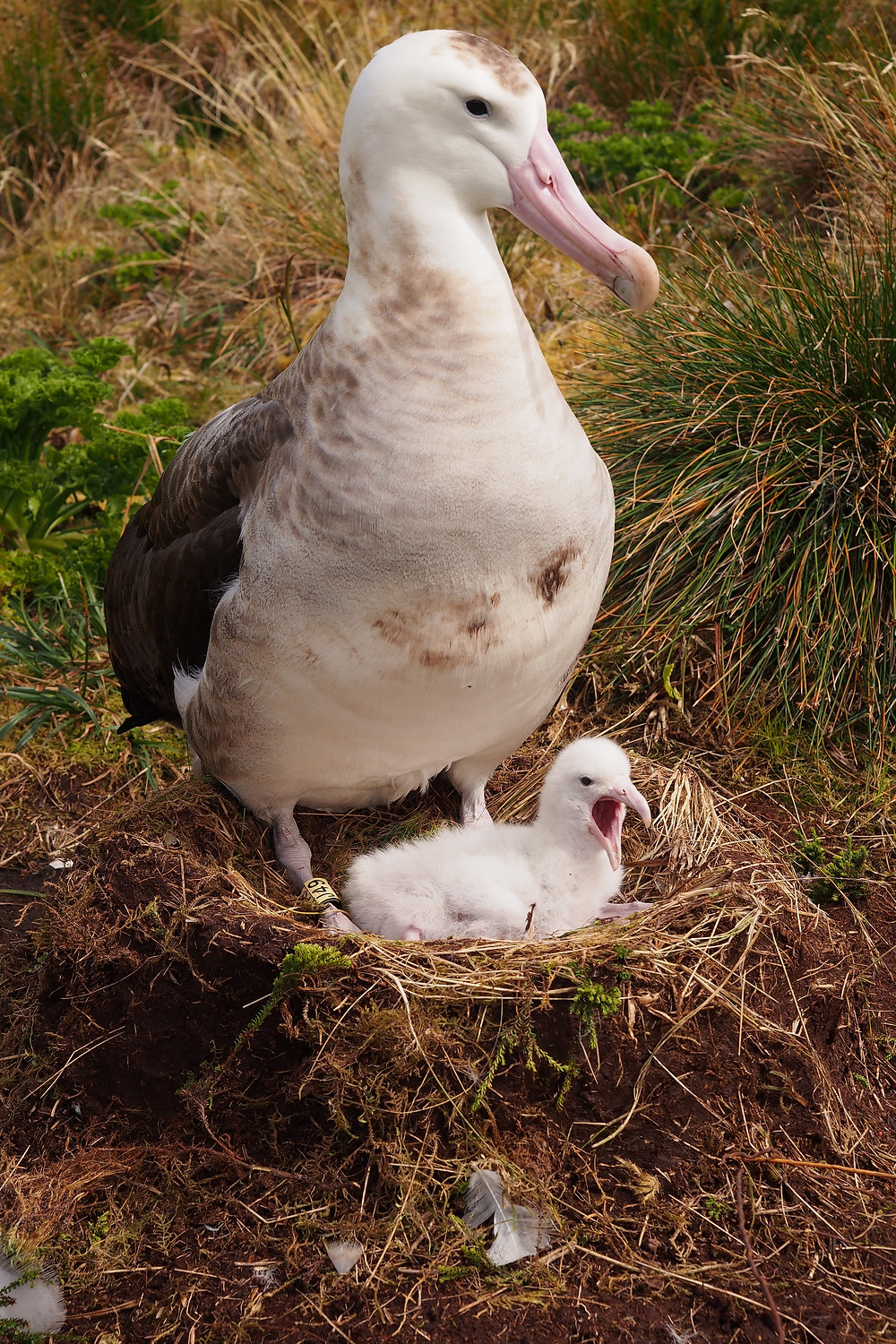 tristan albatross chick on gough island
