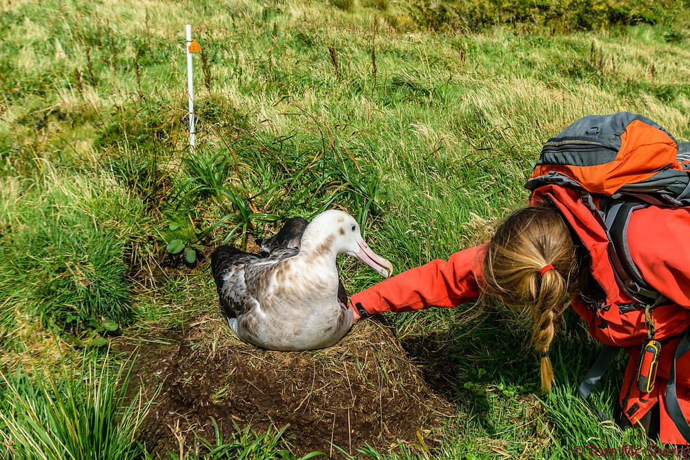 The team checks tristan albatross nests for eggs and chicks