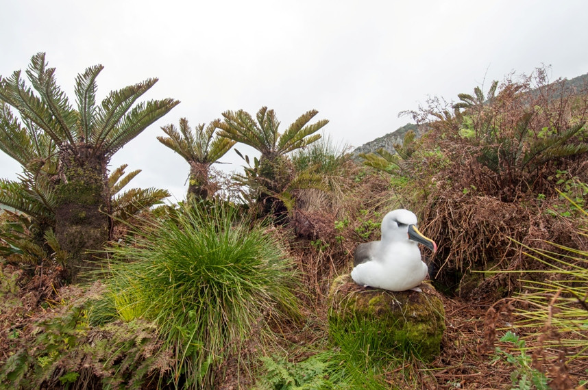 Atlantic yellow-nosed albatross on its nest