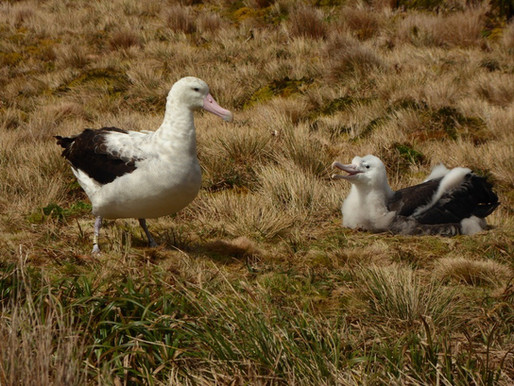 Tristan Albatross breeding success is too low