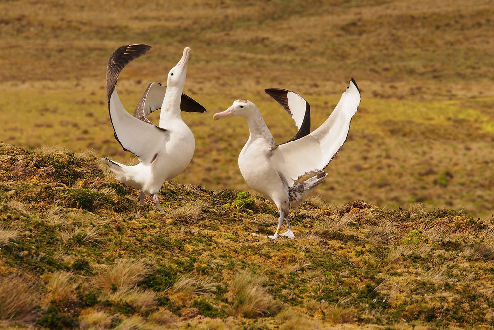 Courting Tristan Albatrosses in January (Kate Lawrence)