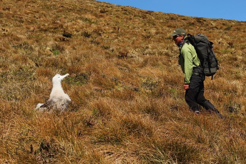 Tristan albatross chick curiously eyeing RSPB scientist Steffen!